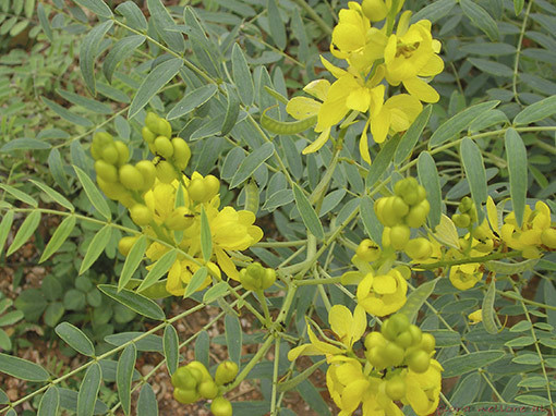 Senna angustifolia