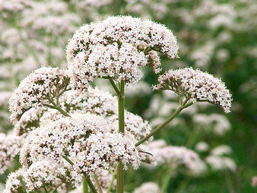Valeriana medicinal